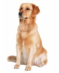 click xem thong tin ve cho golden retriever