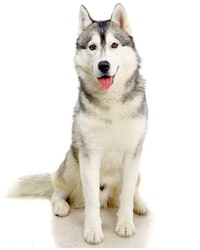click xem thong tin ve cho husky