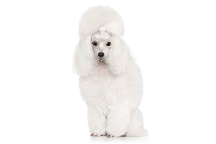 hinh anh cho poodle toy danh muc