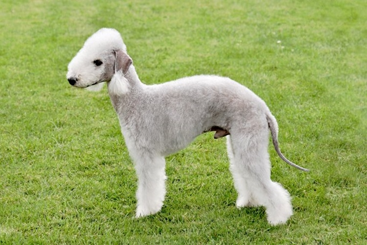 6 Bedlington Terriers top giong cho khong rung long 4