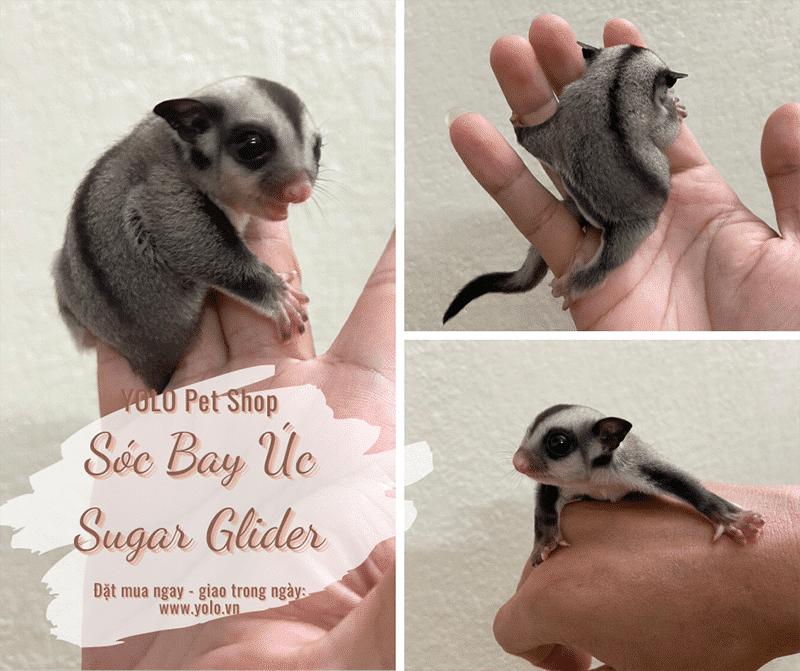 hinh anh mua soc bay uc sugar glider