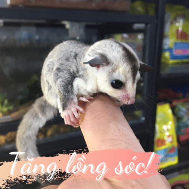 mua white face sugar glider