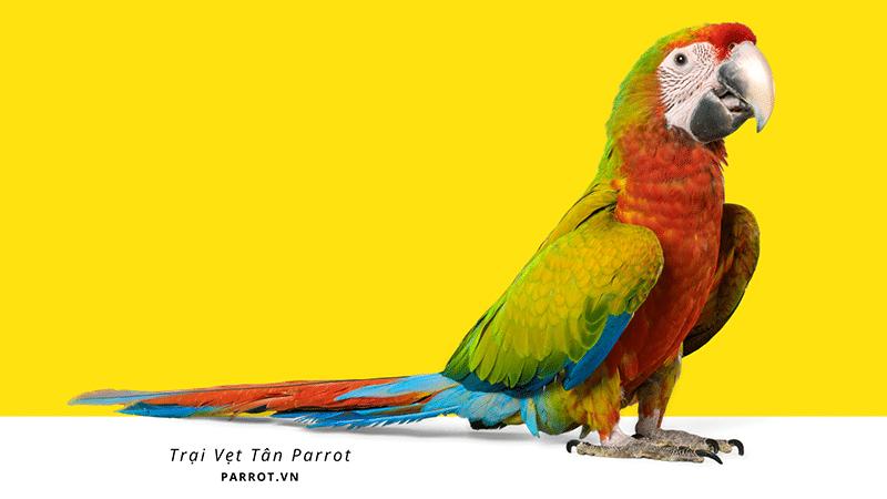 trai vet canh tan parrot viet nam